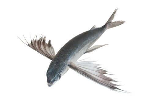 Peixes-voadores
