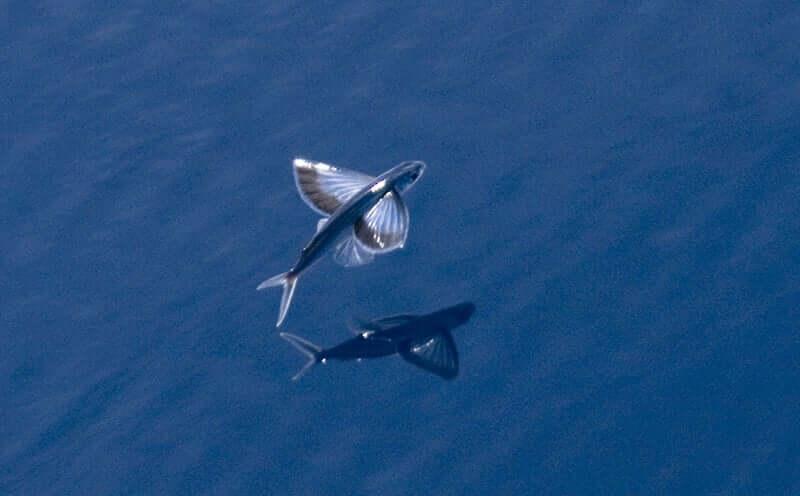 Três espécies de peixes-voadores