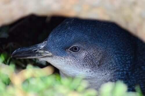 Classificação do pinguim-fada