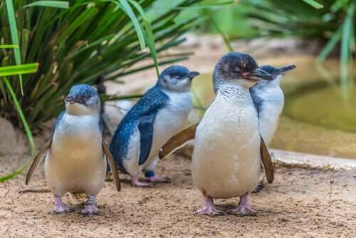 O pinguim-fada, o menor do mundo