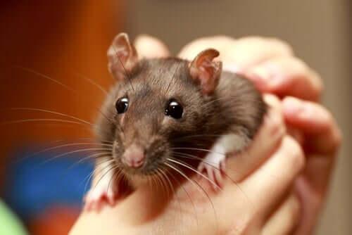 Rato como animal de estimação