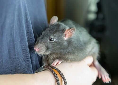 Você teria um rato como animal de estimação?