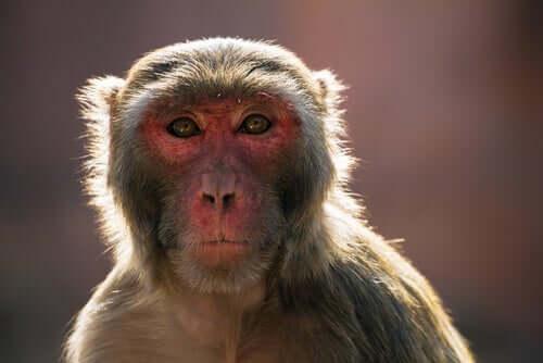 O problema dos macacos na Índia