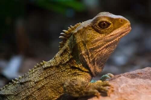 A tuatara: um sobrevivente da era dos dinossauros