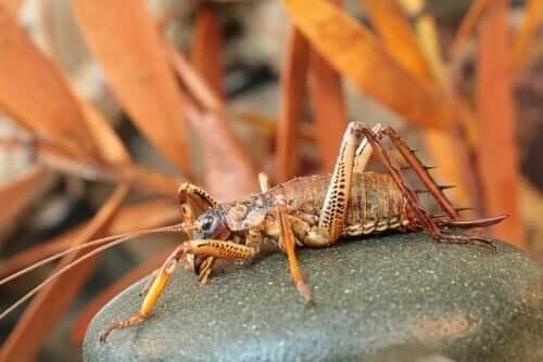 Weta, um dos maiores insetos do planeta