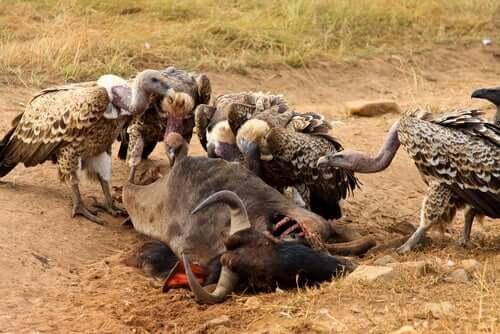 Abutres comendo carcaça