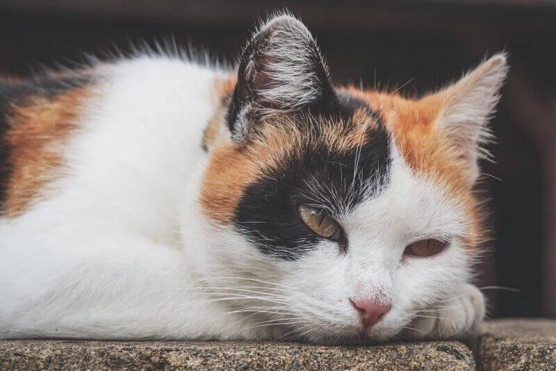 Anemia em gatos: como detectar, compreender e tratar