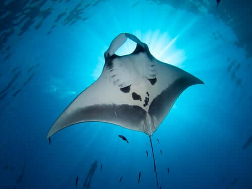 A arraia: a bela misteriosa do mar