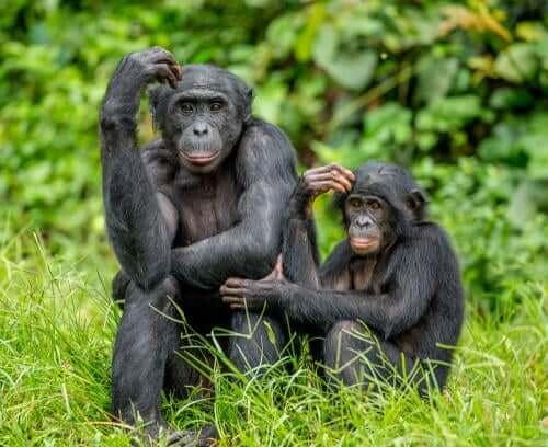 Mãe bonobo com seu filhote