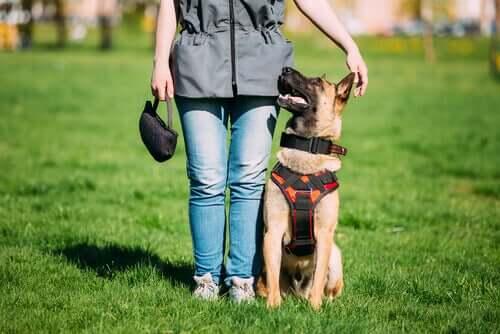Diferenças entre um cão de mediação e um cão comportado