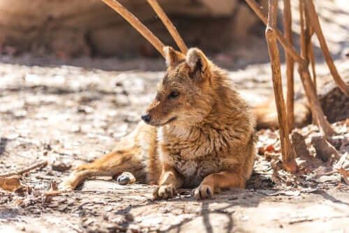 Estado de conservação do chacal-dourado