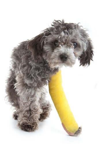 Cachorro com a pata engessada