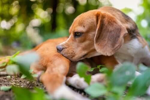 Picadas de insetos em cães