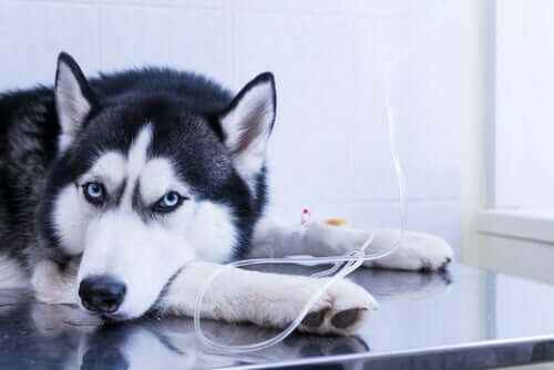 Husky tomando soro no veterinário