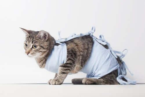 Pós-operatório da castração em gatos