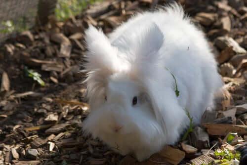 Coelho angorá: uma das raças de coelhos domésticos