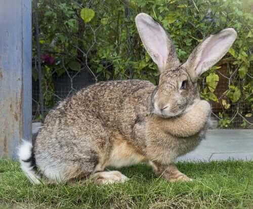 Coelho gigante de Flandres: uma das raças de coelhos domésticos
