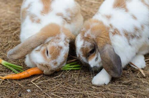 O coelho e a sua alimentação
