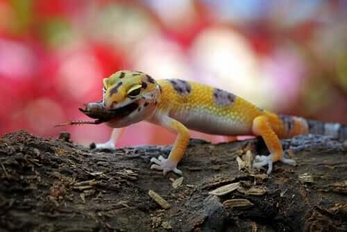 Criação da lagartixa-leopardo