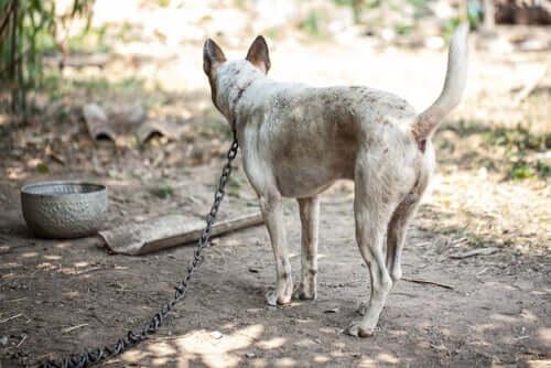 Manter um cachorro acorrentado não é saudável