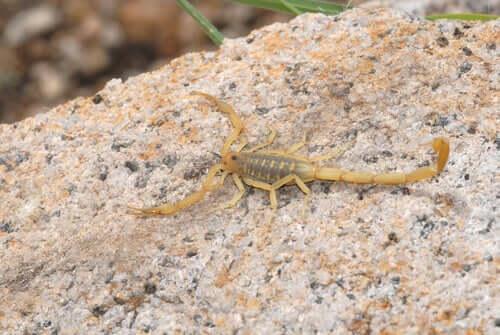 Os escorpiões são animais resistentes