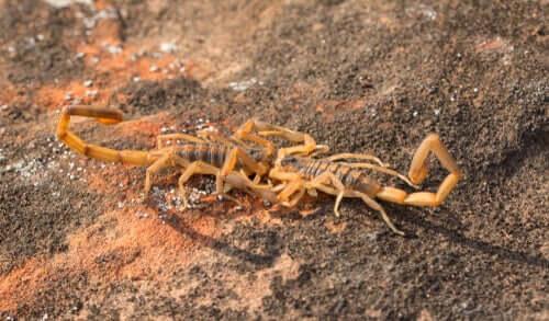 Ritual de acasalamento dos escorpiões