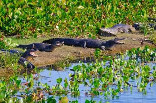 Espécimes de jacaré-do-pantanal tomando sol