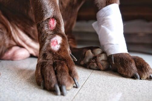 Cão com ferida na pata
