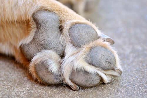 Feridas nas almofadas das patas dos cães