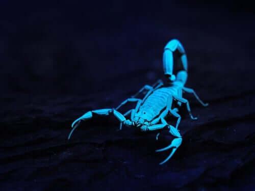 Os escorpiões brilham sob a luz ultravioleta