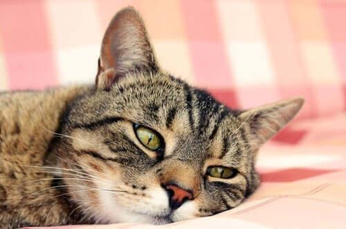 Gato com sintomas de anemia