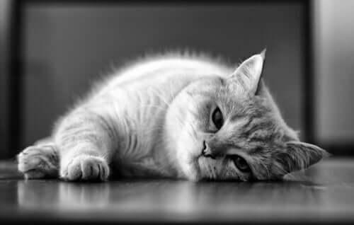 Leishmaniose em gatos: causas e tratamento