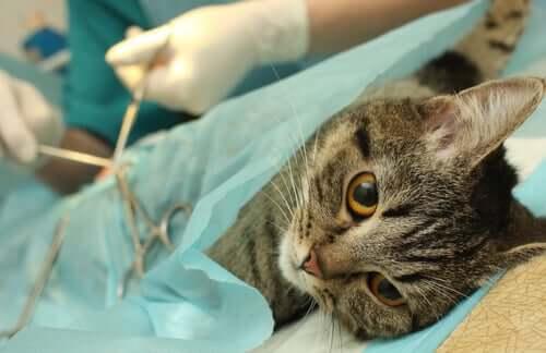Cirurgia de castração em gatos