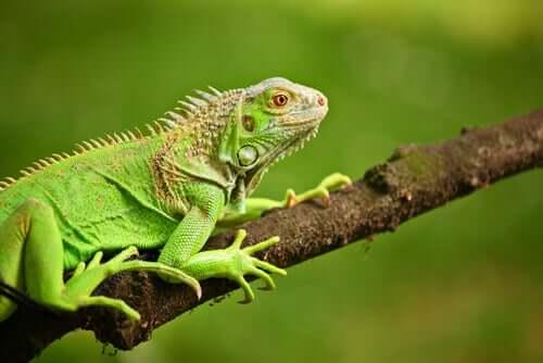 O que as iguanas-verdes comem?