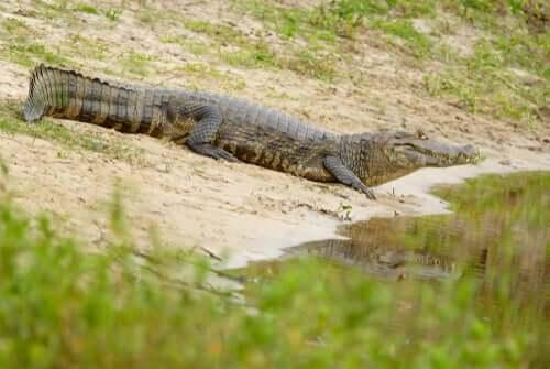 Principais características do jacaré-do-pantanal