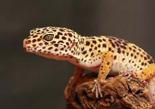 A lagartixa-leopardo e sua criação em terrários