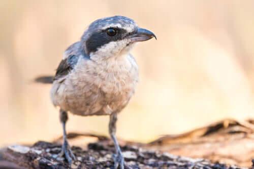 Picanço real: o pássaro açougueiro