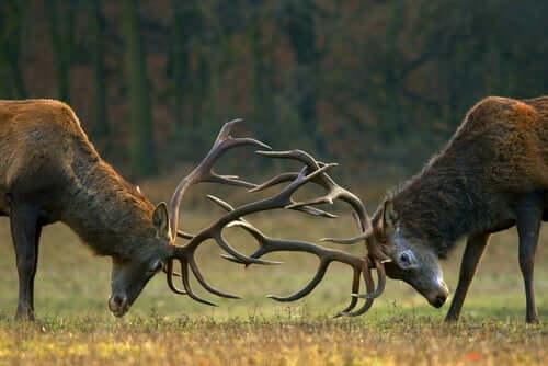 Lutas entre cervos com chifres