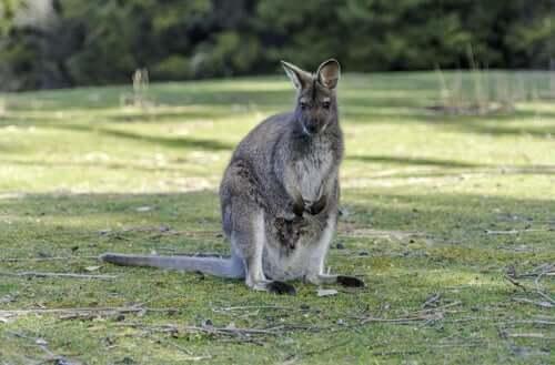 O marsupial Macropus Robustus