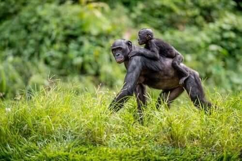 As mães bonobo ajudam seus filhos a flertar