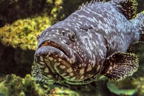 Mero-preto: características e habitat