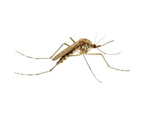 Mosquito transmissor da leishmaniose