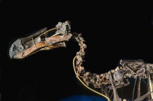 Esqueleto do pássaro dodô