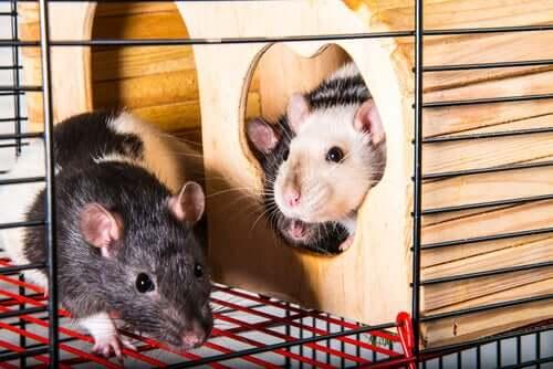 Ratos de estimação em gaiola