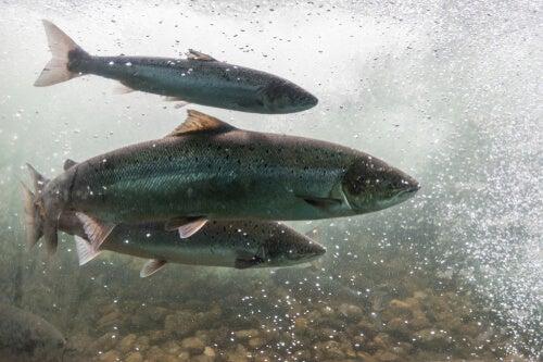 A anemia infecciosa do salmão