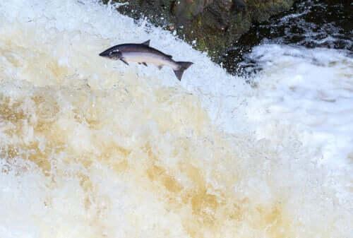 Salmão pulando em migração