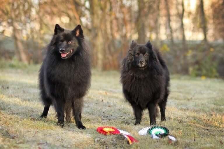Conheça os cães spitz