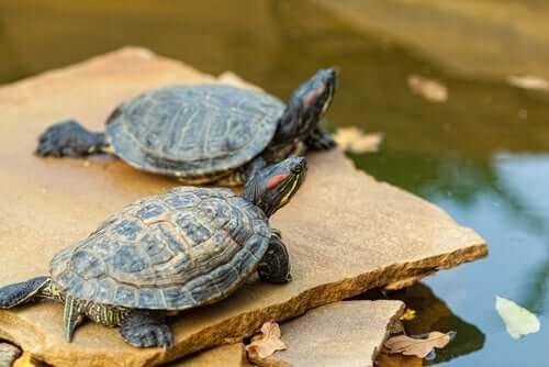Como cuidar de tartarugas aquáticas