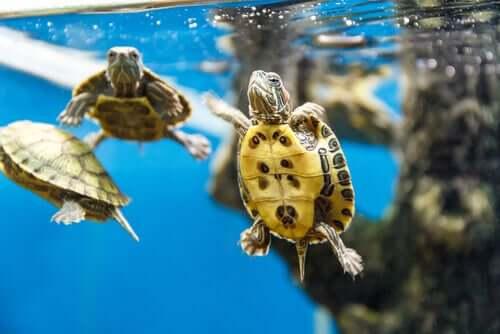 Tartarugas aquáticas nadando
