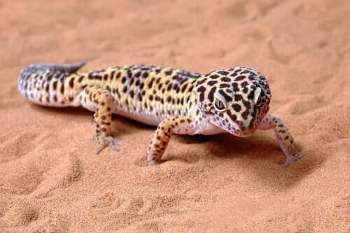 Terrário para lagartixa-leopardo